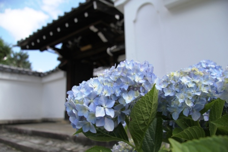 金戒光明寺瑞泉院門前の紫陽花_H25.06.16撮影
