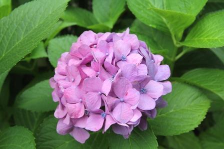 呑川緑道の額紫陽花_H26.06.26撮影