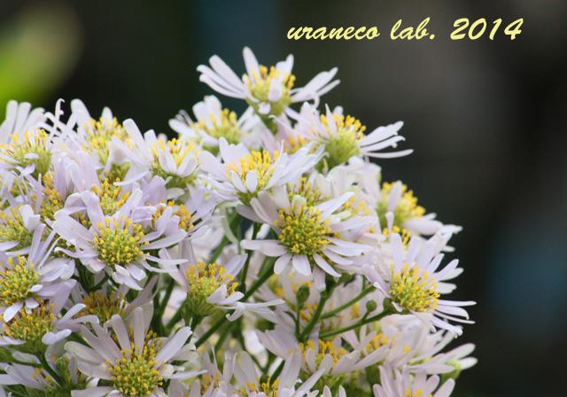 10月29日洋菊