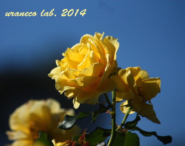 10月31日winter rose3