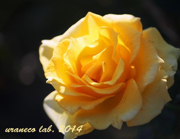 10月30日秋薔薇14