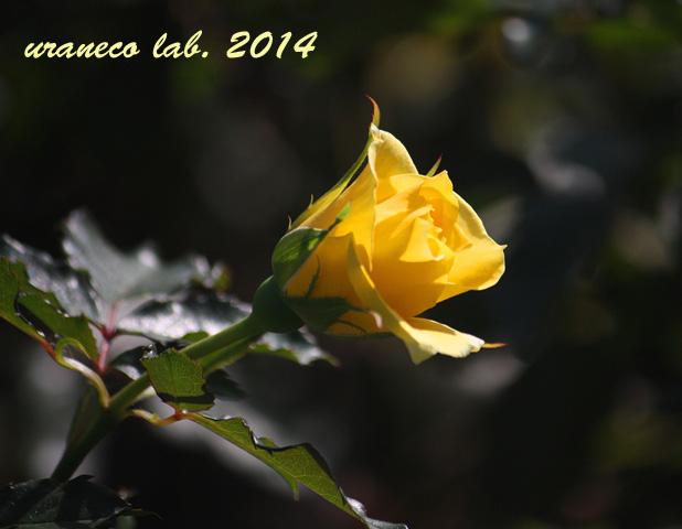 10月30日秋薔薇