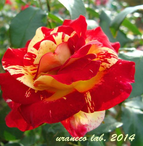 11月12日冬薔薇3