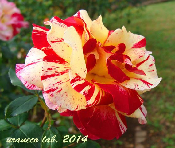 11月12日冬薔薇2