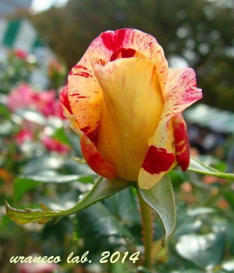 11月12日冬薔薇