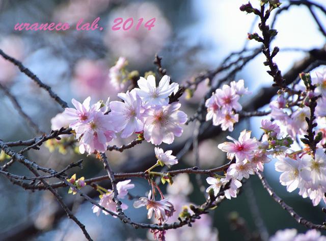 11月17日十月桜2