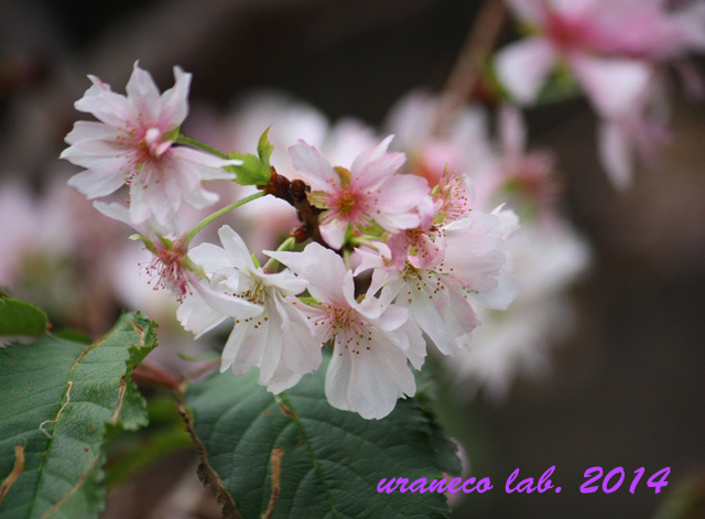 11月12日冬の桜4