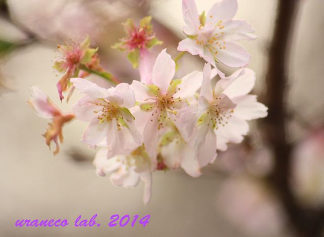 11月12日冬の桜
