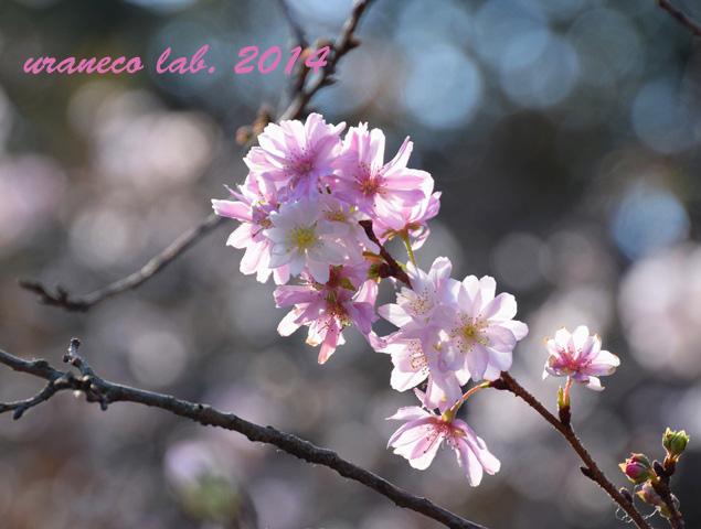 11月17日十月桜3