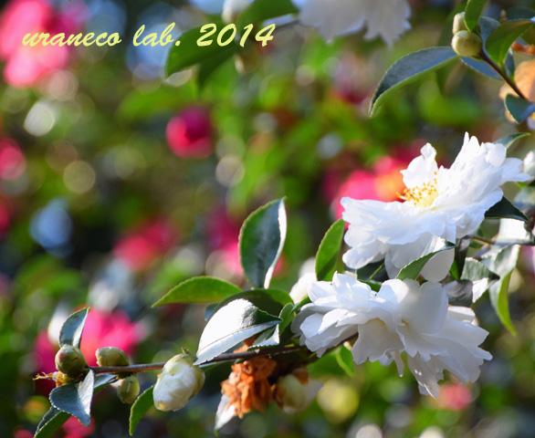 11月25日山茶花