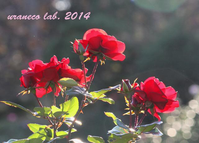 12月9日紅薔薇