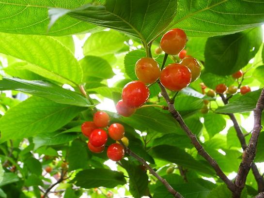 2013桜桃
