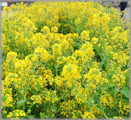 2013.2.3 戸川公園菜の花