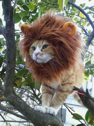 lion_cat.jpg