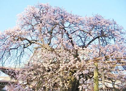 白梅の古木です