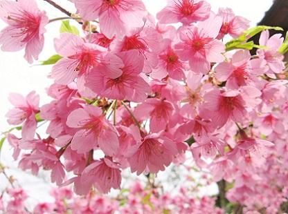 河津桜です1