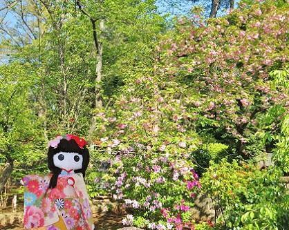 新緑に八重桜です