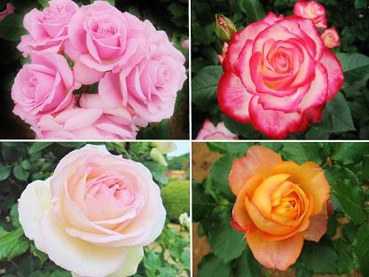 美しいバラたち