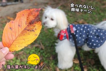 落ち葉が綺麗^^ すももんは、興味なさそうだけどね~・・