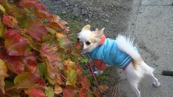 sakura_autumn5.jpg