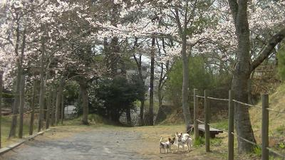 sakura_sakurasaku5.jpg