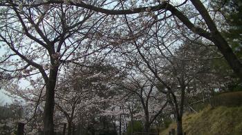 sakura_sakurasaku6.jpg