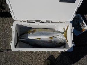 館山 釣り 022-内寸60cmのクーラーにワラサ