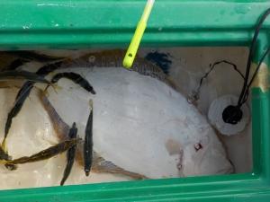 釣り 館山 009-真っ白なので天然ヒラメ