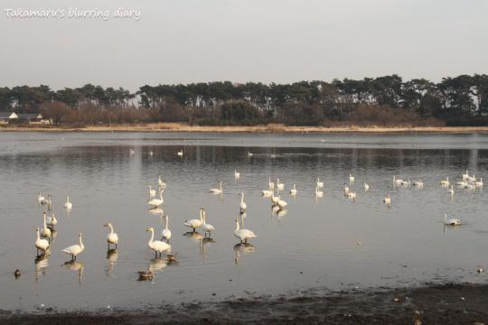 1月に来た時の倍くらいの数居ました。白鳥も観客も。