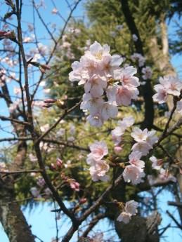 2013-3-13根津神社桜