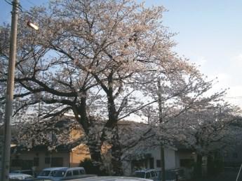 2013-3-29桜