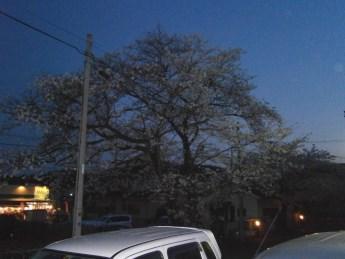 2013-3-29桜2