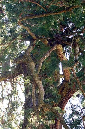 141118千葉県清澄の大杉④