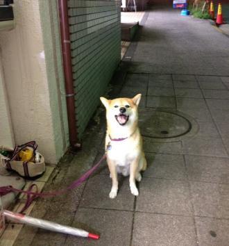 shibainu-mame.jpg