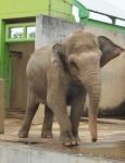 アジア象ゆれる