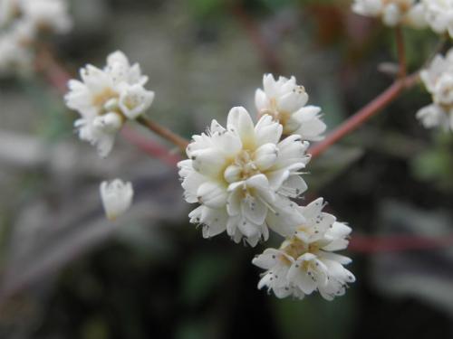 ペルシカリア・シルバードラゴンの花