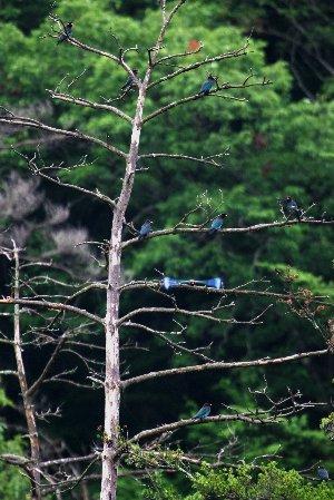 ブッポウソウの成る木