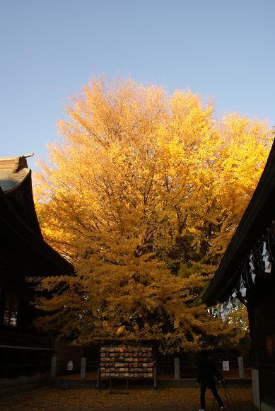 拝殿裏の千本公孫樹