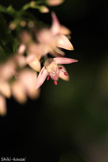 金のなる木・花