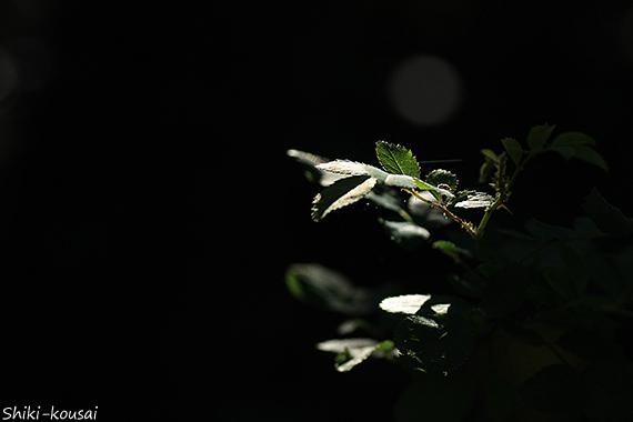 野バラ・葉