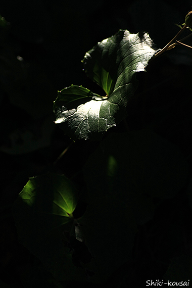 ツワブキ 透過光&反射光
