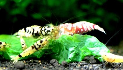 ファンシー種親水槽2