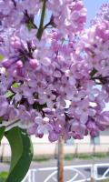 ライラック 花びら5枚-1