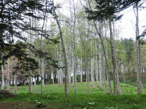 White birch 1