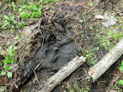 Footprints deer