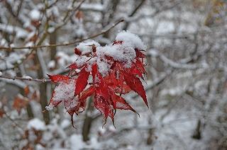 雪モミジ1126