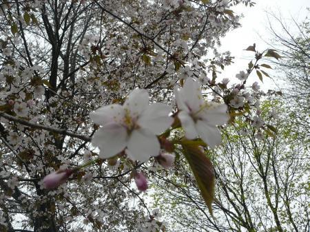 早咲きの桜は満開。