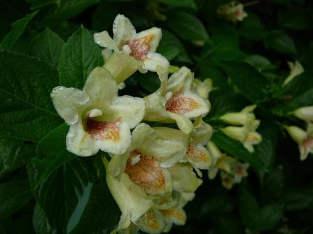 黄色のお花はウコンウツギ