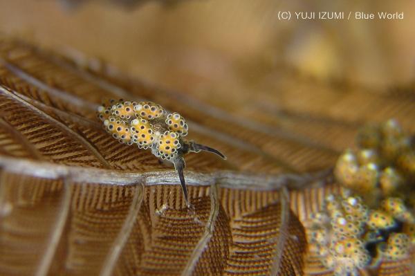 コガネマツカサウミウシ