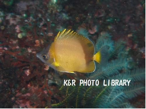 シラコダイの幼魚